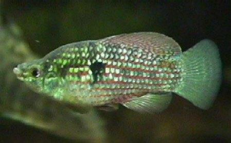 American Flagfish